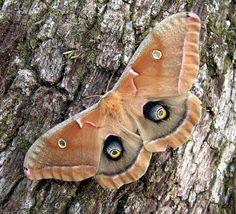http://oddiant.poatemisepare.ro/wp-content/uploads/Polyphemus-Moth-Antheraea-polyphemus.jpg