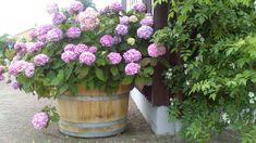 Hydrangea in a pot / wine barrel