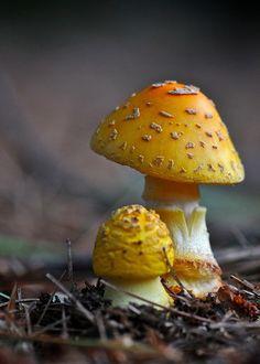 """themagicfarawayttree: """" poisonous yellow aminita """""""