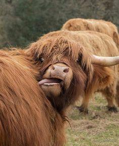 'Funny Scottish Highland cow' iPad Case/Skin by HaleyRedshaw – Gaby Soumare - Baby Animals Cute Baby Cow, Baby Animals Super Cute, Cute Cows, Cute Little Animals, Cute Funny Animals, Baby Farm Animals, Baby Cows, Baby Animals Pictures, Cute Animal Pictures