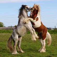 (96) Theresa Dibblee Pretty Horses, Horse Love, Beautiful Horses, Animals Beautiful, Horse Photos, Horse Pictures, Gypsy Horse, Cute Ponies, Cowboy Horse