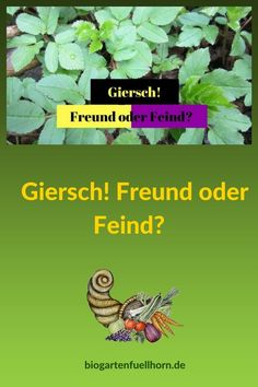 Giersch – Freund oder Feind? Heilkräfte im Giersch #giersch #heilkraft #garten