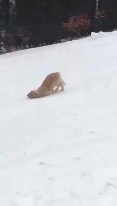 Golden Labrador Retriever slides down the slopes - Funny - . - Golden Labrador Retriever slides down the slope – funny – - Funny Animal Videos, Funny Animal Pictures, Cute Funny Animals, Cute Baby Animals, Wild Animals, Cute Animal Humor, Farm Animals, Funny Babies, Funny Dogs