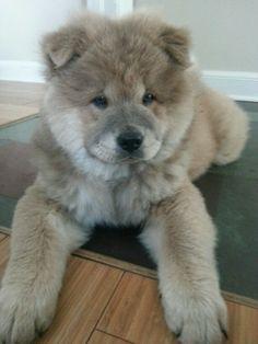 My Chow Chow, Kissy Bear