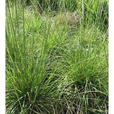 Muhlenbergia rigens - Grasses - Plant Type - Boething Treeland Farms