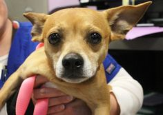 NAME: Toby  ANIMAL ID: 30871663  BREED: Chi  SEX: male  EST. AGE: 2 yr  Est Weight: 20 lbs  Health: heartworm neg  Temperament: dog friendly, people friendly.  ADDITIONAL INFO: RESCUE PULL FEE: $69  Intake date: 2/19  Available: Now