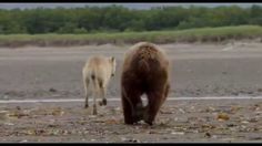 """BEARS - In an epic story of breathtaking scale, Disneynature's new True Life Adventure """"Bears"""" showcases a year in the life of two mother bears as they impart life lessons to their impressionable young cubs. Set against a majestic Alaskan backdrop teeming with life, their journey begins as winter comes to an end and the bears emerge from hibernation to face the bitter cold. The world outside is exciting—but risky—as the cubs' playful descent down the mountain carries with it a looming…"""