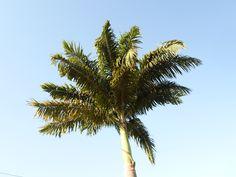 Palmeira do Alemão