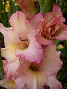 """Gladíolos - A flor dos """"Encontros"""""""