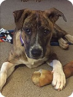 Atlanta, GA - Mountain Cur/Hound (Unknown Type) Mix. Meet Willow, a puppy for adoption. http://www.adoptapet.com/pet/15679895-atlanta-georgia-mountain-cur-mix