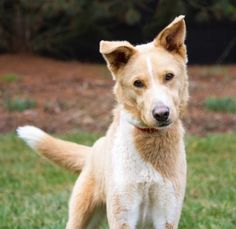 Davis is an adoptable Collie searching for a forever family near Cincinnati, OH. Use Petfinder to find adoptable pets in your area. Collie, Cincinnati, Searching, Husky, Pets, Animals, Animales, Search, Animaux