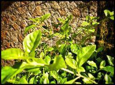 533 - Folhas e muro #umafotopordia #picoftheday #brasil #brazil #n8 #snapseed #pixlromatic+