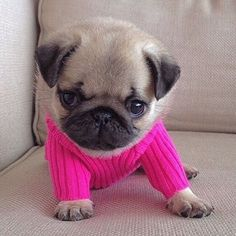 So cute!! Pug pup!