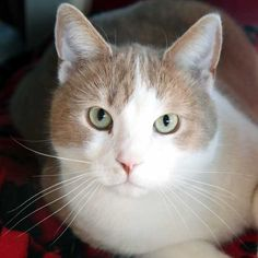 I'm a buff-colored gentleman who would love nothing more than to warm your lap and heart! #Adopt me in San Diego! #cat