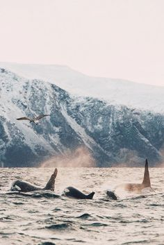 Orcas in Norway. Tromso, Norway By Johan Lolos Tromso, Orcas, Animal Photography, Nature Photography, Travel Photography, Monterey Bay Aquarium, Wale, Mundo Animal, Ocean Creatures