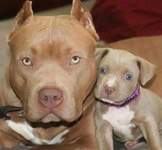 American Pitbull – All You Want to Know About This Breed – Pets and Animals Cute Baby Animals, Animals And Pets, Funny Animals, Beautiful Dogs, Animals Beautiful, Bully Dog, Cute Dogs And Puppies, Doggies, Pitbull Terrier