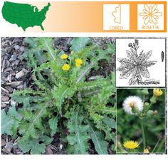 Annual Sowthistle