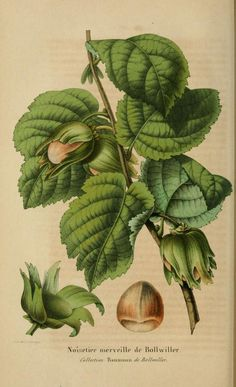 Belgique horticole. By Morren, Charles, 1807-1858 Morren, Edouard, 1833-1886 / Not in Copyright (aka public domain) - http://www.biodiversitylibrary.org/item/27071#page/262/mode/1up