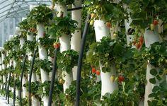 Выращивание клубники в вертикальных трубах: технология, хитрости и