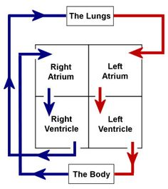 the 5 main parts of the cardiovascular system? The heart. The right side of the heart. The left side of the heart. Heart Anatomy, Nursing School Notes, Biology Lessons, Science Notes, Medical Anatomy, Human Anatomy And Physiology, School Study Tips, Heart For Kids, Nursing Students