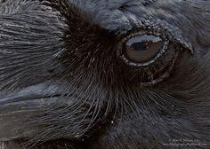 Raven's Eye... http://500px.com/photo/25195793/raven%27s-eye-by-henrik-nilsson