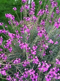Deer resistant Deer Resistant Flowers, Plants, Gardening, Lawn And Garden, Plant, Planets, Horticulture