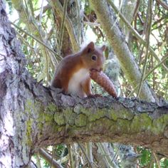Red squirrel by the River Garry