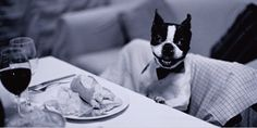 Boston Terrier enjoying a meal
