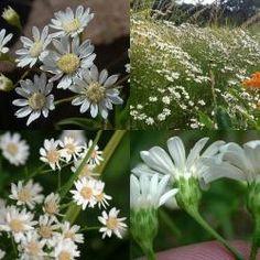 Aster, Native Plants, North America, Garden, Butterfly, Garten, Lawn And Garden, Gardens, Gardening