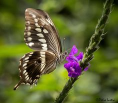 Constantine's Swallowtail in flight feeding on Purple Porterweed, Wings of the Tropics, Fairchild Tropical Botanic Garden.