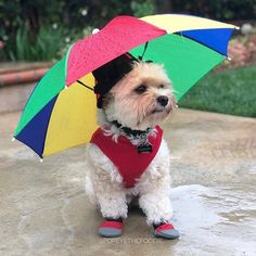 Rain Gear, Little Dogs, Fur Babies, Cute Dogs, Cute Animals, Puppies, Umbrellas, Random Stuff, Beautiful