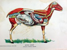 An original veterinary anatomy dissection bookplate print of a pregnant sheep published in 1924.