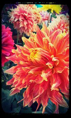 Dahlia at a flower show
