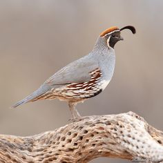 A male Gambel's Quail perched up on the skeleton of a cholla cactus in the Arizona desert. Owl Bird, Pet Birds, Arizona Birds, Chicken Feeders, Chicken Coops, Animals And Pets, Cute Animals, Desert Animals, Quail Hunting