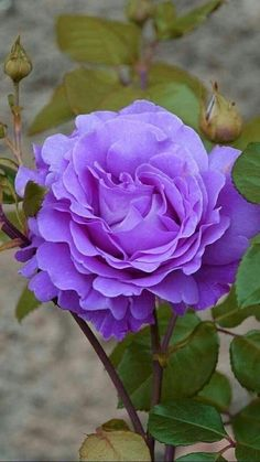 colour but I don't know the name (sad for me) but colour is Flora Flowers, Flowers Nature, Exotic Flowers, Amazing Flowers, Beautiful Roses, Pretty Flowers, Beautiful Gardens, Lavender Roses, Purple Roses
