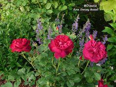 Le jardin de Diascia -Darcy Bussell by David Austin