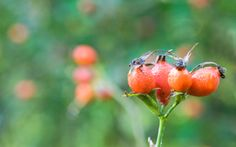 Rose Hip Oil - Another great body butter additive, rose hip oil is supposed to help scars, eczema, burns, wrinkles, etc.
