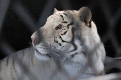 México 4 Mar. 2016.- Un total de seis tigres dos jaguares dos leones africanos y un leopardo fueron trasladados al santuario The Wild Animal Sanctuary en la ciudad de Denver Colorado en una operación conjunta de la Profepa y la Secretaría de Marina.  @Candidman   #Fotos Candidman Colorado Denver Felinos Foto del día Mexico Profepa Tigre @candidman