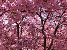 満開に咲く河津桜
