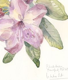 Rhododendron watercolor drawing mauve flowers. by CATILUSTRE