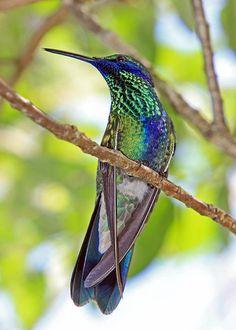 Florida hummingbird