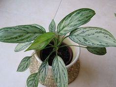 For the bathroom Aglaonema commutatum (Chinese Evergreen) Easy indoor plant for low light
