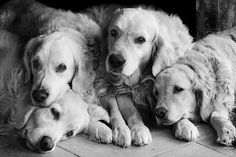 Who doesn't love golden retrievers? I Love Dogs, Puppy Love, Cute Dogs, Funny Dogs, Golden Retrievers, Mastador Dog, Koolie Dog, Kangal Dog, Dogs And Puppies
