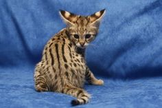 Savannah Cat. I can't wait to have one!