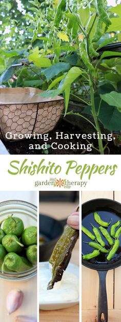 Recipes for cooking with shishito peppers and how to grow peppers!