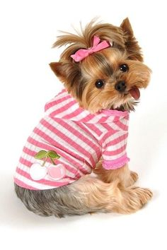 Adorable Yorkie dog modeling her pink sweater & hair bow (+ that tongue :)