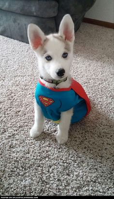 Cute Husky Puppy Superhero