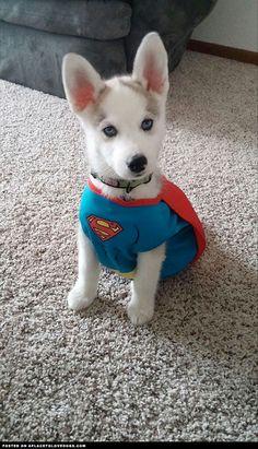 Cute Husky Puppy Superhero