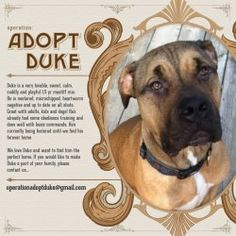 Duke is an adoptable Mastiff Dog in Chicago, IL. Hi everybody! I'm Duke, and I'm looking for a family of my own. I love all humans--even the teeny ones--and I'm a mellow, handsome guy. I like other f...