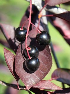 Chokecherry virginiana - 'Schubert'.  The berries are extremely acidic but edible, if you wish to eat them, go down the jam route :)